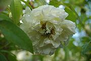 Kletterrosen und Rambler - Banksiae Banksiae